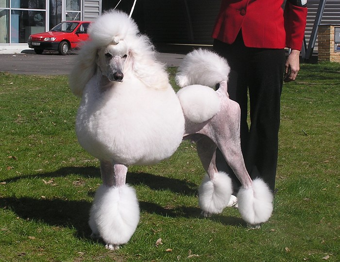 Abar Recatty - great white poodle