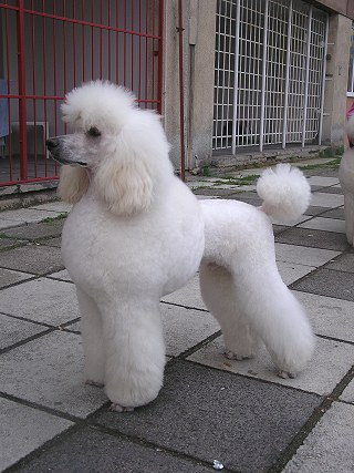 Andreas Bílý Poklad - great white poodle