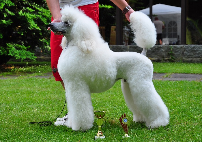Aramis Recatty great white poodle