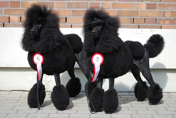 great black poodle