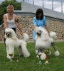 great white poodle Tony ans son Aramisem