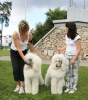 great white poodle Aramis and Abar