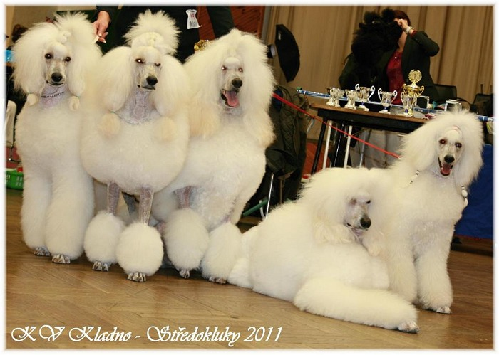 great white poodle